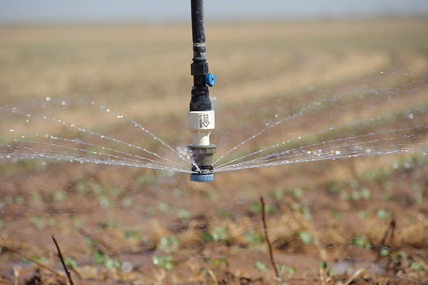 Center pivot irrigation system drop nozzles are used efficiently to deliver water to cotton crop.