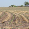 Wheat stubble protects cotton seedlings, utilized by Mitchell Farms in Lynn County.