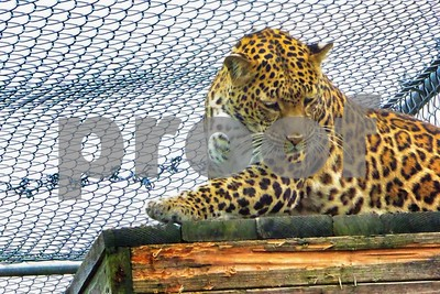 P1110812 Leopard Look Down ftb