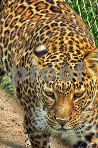 P1110821 Can a Leopard Change Its Spots? ftb