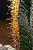 Astrophytum Cactus #01b-2012M 05<br /> Backlit spines on a star cactus.<br /> .<br /> Arid House, Conservatory at the Matthaei Botanical Gardens, <br /> Ann Arbor, Michigan<br /> November 1, 2012