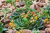 Crassulaceae Echeveria #06-2012H 05<br /> <br /> Echeveria 'Dondo'<br /> Distribution  Mexico<br /> <br /> March 1, 2012<br /> Arid Dome, Hidden Lake Gardens Conservatory<br /> (Canon 50D)