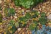 Crassulaceae Echeveria #06-2012H 01<br /> Echeveria 'Dondo'<br /> Family:  Crassulaceae<br /> <br /> Hidden Lake Gardens, Michigan<br /> February 20, 2012