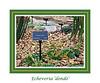 Crassulaceae Echeveria #06-2012H 00<br /> <br /> Echeveria 'Dondo'<br /> Distribution  Mexico<br /> <br /> March 1, 2012<br /> Arid Dome, Hidden Lake Gardens Conservatory<br /> (Canon 50D)