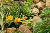 Crassulaceae Echeveria #06-2012H 04<br /> Echeveria 'Dondo'<br /> Family:  Crassulaceae<br /> <br /> Hidden Lake Gardens, Michigan<br /> February 20, 2012