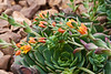 Crassulaceae Echeveria #06-2012H 07<br /> <br /> Echeveria 'Dondo'<br /> Distribution  Mexico<br /> <br /> March 1, 2012<br /> Arid Dome, Hidden Lake Gardens Conservatory<br /> (Canon 50D)