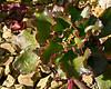 Crassulaceae Echeveria #05-2012H 01<br /> Echeveria 'Red Ruffles'<br /> Family:  Crassulaceae  Native to Mexico<br /> <br /> Arid Dome of the Hidden Lake Gardens Conservatory, Lenawee County, Michigan<br /> February 20, 2012