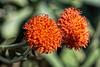 Asteraceae:  Senecio mandraliscae<br /> 2014M 02<br /> <br /> Groundsel, Senecio mandraliscae<br /> <br /> D043-2014<br /> <br /> Conservatory, Matthaei Botanical Gardens, Ann Arbor<br /> Taken February 12, 2014