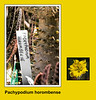 Plant ID label for Pachypodium horombense