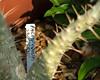 Plant ID label Pachypodium saundersii