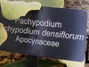Plant ID label for Pachypodium densiflorum