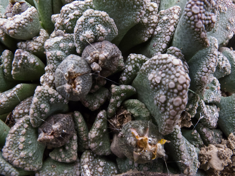 Aizoaceae:  Titanopsis calcarea<br /> 2011H 02<br /> <br /> Concrete Leaf or Living Stone, Titanopsis calcarea.<br /> Family:  Aizoaceae (sometimes referred to as the Ice Plant or the Stone Plant family)<br /> <br /> Hidden Lake Gardens Conservatory, Arid Dome.<br /> Tipton, Michigan<br /> Taken February 17, 2011