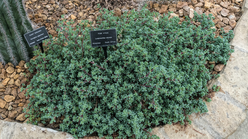 Aizoaceae:  Lampranthus blandus<br /> 2018H 02-01<br /> <br /> Pink Vygie, Lampranthus blandus<br /> Family:  Aizoaceae<br /> Distribution:  South Africa<br /> <br /> Arid Dome, Conservatory<br /> Hidden Lake Gardens, Michigan<br /> Taken February 16, 2018