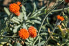 Asteraceae:  Senecio mandraliscae<br /> 2014M 01<br /> <br /> Groundsel, Senecio mandraliscae<br /> <br /> D043-2014<br /> <br /> Conservatory, Matthaei Botanical Gardens, Ann Arbor<br /> Taken February 12, 2014