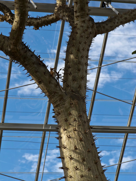 Madagascar Palm, trunk detail