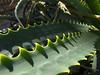 Aloe camperi detail