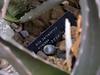 Aloe barbadensis or Aloe vera, medicinal aloe - plant label