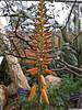 Aloe barbadensis or Aloe vera, medicinal aloe