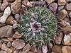 00 No taxon_001<br /> 2011M 03<br /> <br /> Z UnID Cactus miscellaneous #09 03<br /> <br /> Unidentified cactus; maybe a pincushion (mammillaria) or barrel (echinocactus or ferocactus)<br /> <br /> The tag simply says it is from Coahuila, Durango, Mexico<br /> It hasn't changed much in the space of one year.<br /> <br /> Matthaei Botanical Gardens Conservatory,<br /> Arid House,<br /> Ann Arbor, Michigan,<br /> February 26, 2012