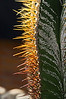 Astrophytum ornatum specimen b<br /> 2011M 05<br /> <br /> Backlit spines on a star cactus.<br /> .<br /> Arid House, Conservatory at the Matthaei Botanical Gardens, <br /> Ann Arbor, Michigan<br /> November 1, 2012