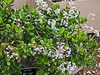Crassula argentea<br /> 2012H 01<br /> <br /> Jade Tree.  Crassula argentea<br /> Distribution  South Africa<br /> <br /> I wonder what the trick is to getting one's jade plant to bloom profusely?  I never got any jade plant I grew to bloom, though I had some for many years.  I love the pale pink and lavender tinges to the blossoms, echoing the rosy blush around the edges of the leaves.<br /> <br /> March 1, 2012<br /> Arid Dome, Hidden Lake Gardens Conservatory<br /> (Canon 50D)