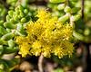 Sedum with yellow blooms