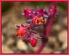 Echeveria 'Red Ruffles'<br /> 2012H 13<br /> <br /> Echeveria 'Red Ruffles'<br /> Distribution  Mexico<br /> <br /> March 1, 2012<br /> Arid Dome, Hidden Lake Gardens Conservatory<br /> (Canon 50D)