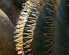 FEO Backlit needles of a barrel cactus (Ferocactus electracanthus)<br /> <br /> Matthaei Botanical Gardens Conservatory,<br /> Arid House,<br /> Ann Arbor, Michigan,<br /> March, 2011
