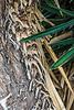 D364-2013 Spanish Dagger, Yucca treculeana<br /> <br /> Arid House, Matthaei Botanical Gardens Conservatory, Ann Arbor<br /> December 30, 2013