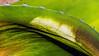 D341-2016  <br /> Leaf detail of the dying Century Plant.<br /> <br /> Matthaei Botanical Gardens, Ann Arbor<br /> Taken December 7, 2016