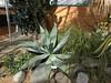 Agave pedunculifera