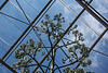Century plant bloom stalk, through the roof