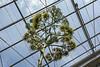 Agave americana 'variegata' in Bloom