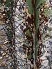 Astrophytum ornatum 'Mirbelli' specimen a<br /> 2011M 15<br /> <br /> Astrophytum ornatum 'Mirbelli'<br /> <br /> Matthaei Botanical Gardens Conservatory,<br /> Arid House,<br /> Ann Arbor, Michigan,<br /> February 2011
