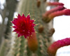 00 All cacti - selected blooms<br /> Cleistocactus #01-2011M 13<br /> <br /> Silver torch or Wooly torch cactus.  Cleistocactus strausii.<br /> Native to  high mountain regions of Bolivia and Argentina<br /> <br /> The blooms never open farther than shown here.  Then they shrivel and turn brown.<br /> <br /> Arid House of the Matthaei Botanical Gardens Conservatory,<br /> Ann Arbor, Michigan,<br /> March, 2011