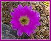 00 All cacti - selected blooms<br /> <br /> Echinocereus Cactus #02-2012M 05<br /> <br /> Echinocereus pentalophus<br /> Family: Cactaceae<br /> <br /> February 26, 2012<br /> Matthaei Botanical Gardens