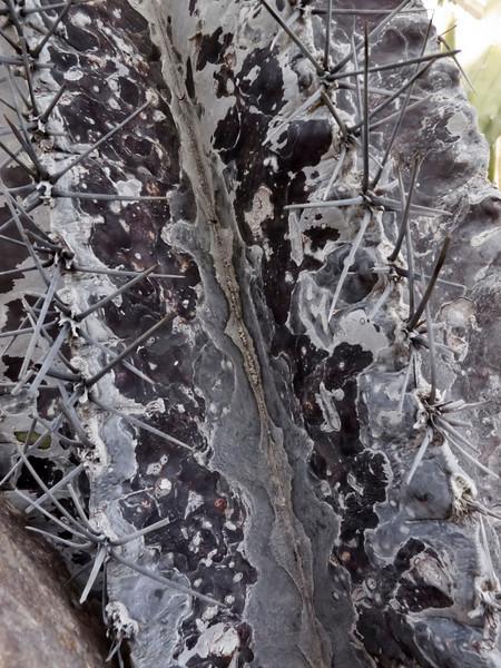 Astrophytum ornatum 'Mirbelli' specimen a<br /> 2011M 04<br /> <br /> Astrophytum ornatum 'Mirbelli'<br /> <br /> Matthaei Botanical Gardens Conservatory,<br /> Arid House,<br /> Ann Arbor, Michigan,<br /> February 2011