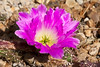 00 All cacti - selected blooms<br /> Echinocereus Cactus #02-2012M 04<br /> <br /> Echinocereus pentalophus<br /> Family:  Cactaceae<br /> <br /> Finding a position where one didn't cast a shadow over the bloom was the hard part.<br /> <br /> Conservatory, Matthaei Botanical Gardens<br /> February 26, 2012