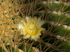 00 All cacti - selected blooms<br /> Echinocactus #01 17<br /> <br /> Golden barrel or Golden Ball Cactus, Echinocactus grusonii<br /> Family:  Cactaceae<br /> Native to:  Central Mexico (highly endangered in the wild)<br /> <br /> Bloom on a golden barrel cactus.<br /> <br /> Arid House of the Matthaei Botanical Gardens Conservatory,<br /> Ann Arbor, Michigan,<br /> March 2011