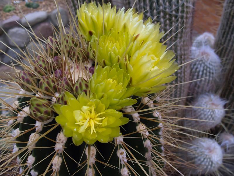 Barrel cactus in bloom