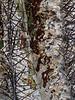 Astrophytum ornatum 'Mirbelli' specimen a<br /> 2011M 13<br /> <br /> Astrophytum ornatum 'Mirbelli'<br /> <br /> Matthaei Botanical Gardens Conservatory,<br /> Arid House,<br /> Ann Arbor, Michigan,<br /> February 2011