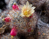 00 All cacti - selected blooms<br /> Mammillaria #08-2011M 06<br /> <br /> Pincushion cactus, Mammillaria polyedra<br /> Family:  Cactaceae<br /> <br /> Matthaei Botanical Gardens Conservatory,<br /> Arid House,<br /> Ann Arbor, Michigan,<br /> March, 2011