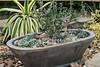 Planter or container garden, xeric plants