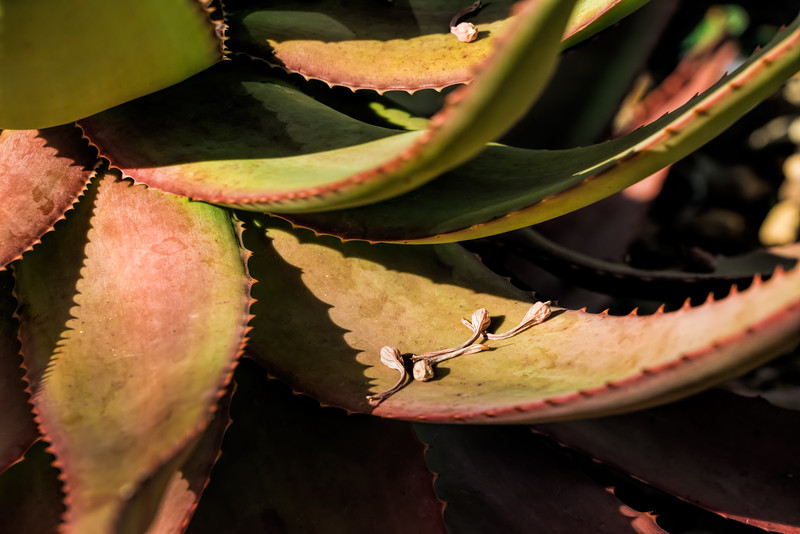 Detail of aloe leaves and dried flowers