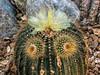 Eye, eye!  Face on a barrel cactus