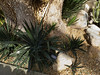 Yucca unknown_003