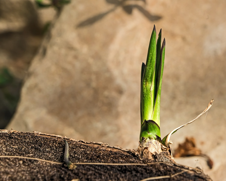 Spanish Dagger sprout