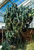 Cactus:  Peruvian Apple, Cereus peruvianus 'Monstrosus'