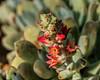 Chenille Plant, Echeveria leucotricha
