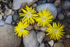 Aizoaceae:  Lithops species<br /> 20121M 15<br /> <br /> Blooms on lithops.<br /> .<br /> Arid House, Conservatory at the Matthaei Botanical Gardens, <br /> Ann Arbor, Michigan<br /> November 1, 2012